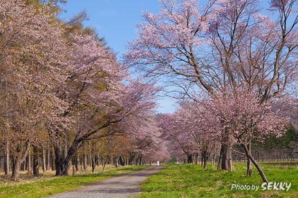 二十軒道路 桜